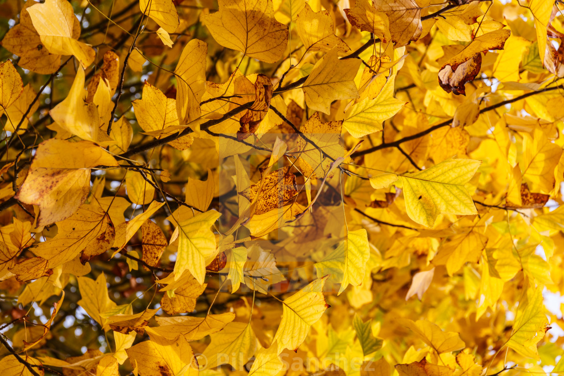 """""""Yellow leaves on a tree"""" stock image"""