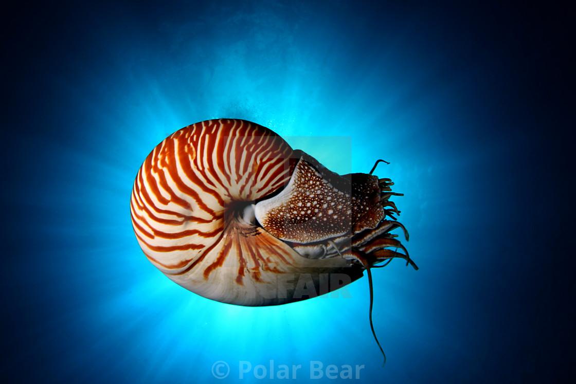 """""""Nautilus"""" stock image"""