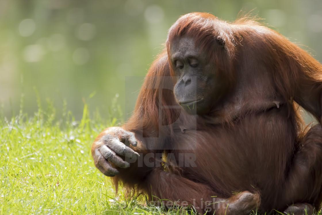 """Female orangutan"" stock image"