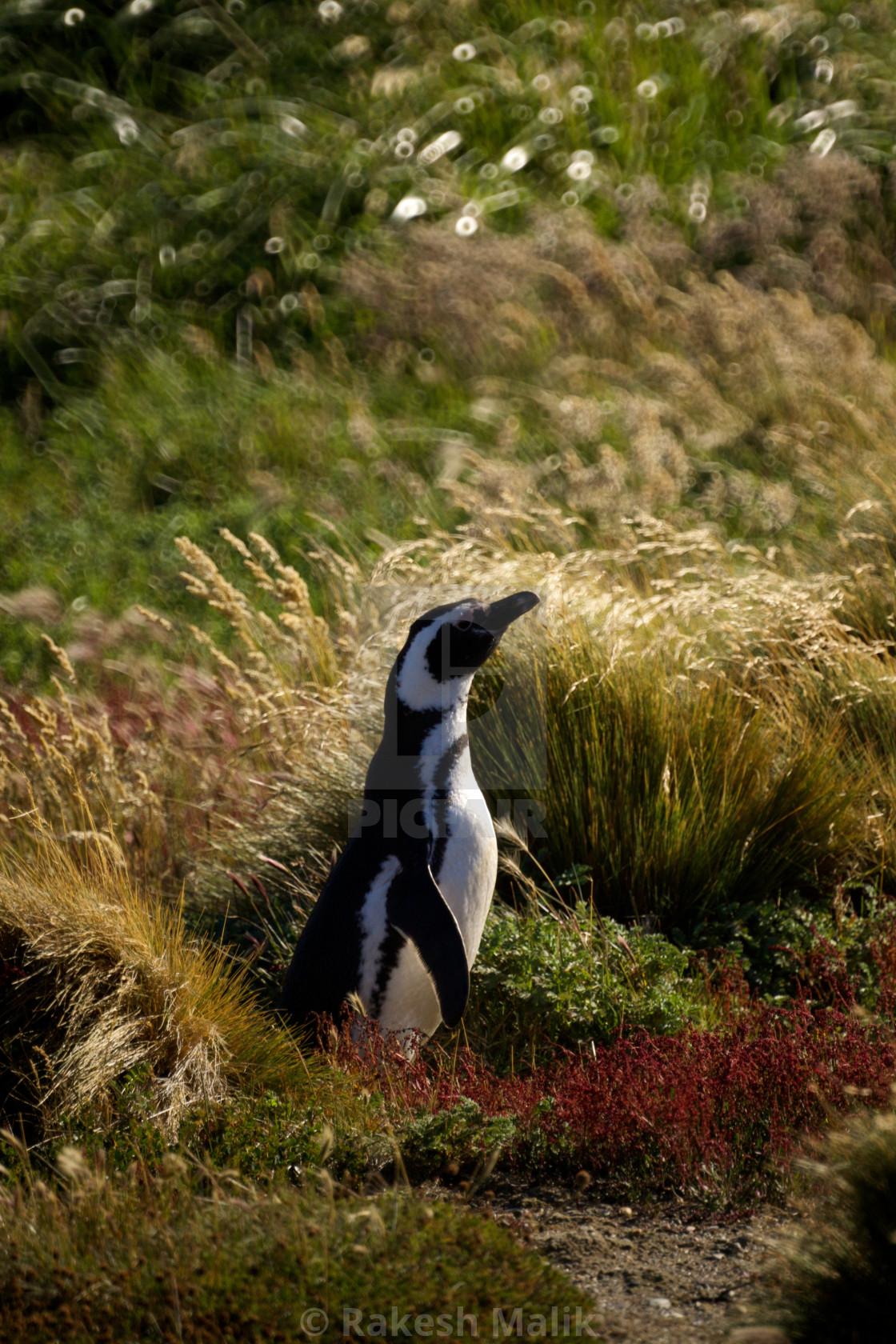 """""""Magellanic Penguin"""" stock image"""