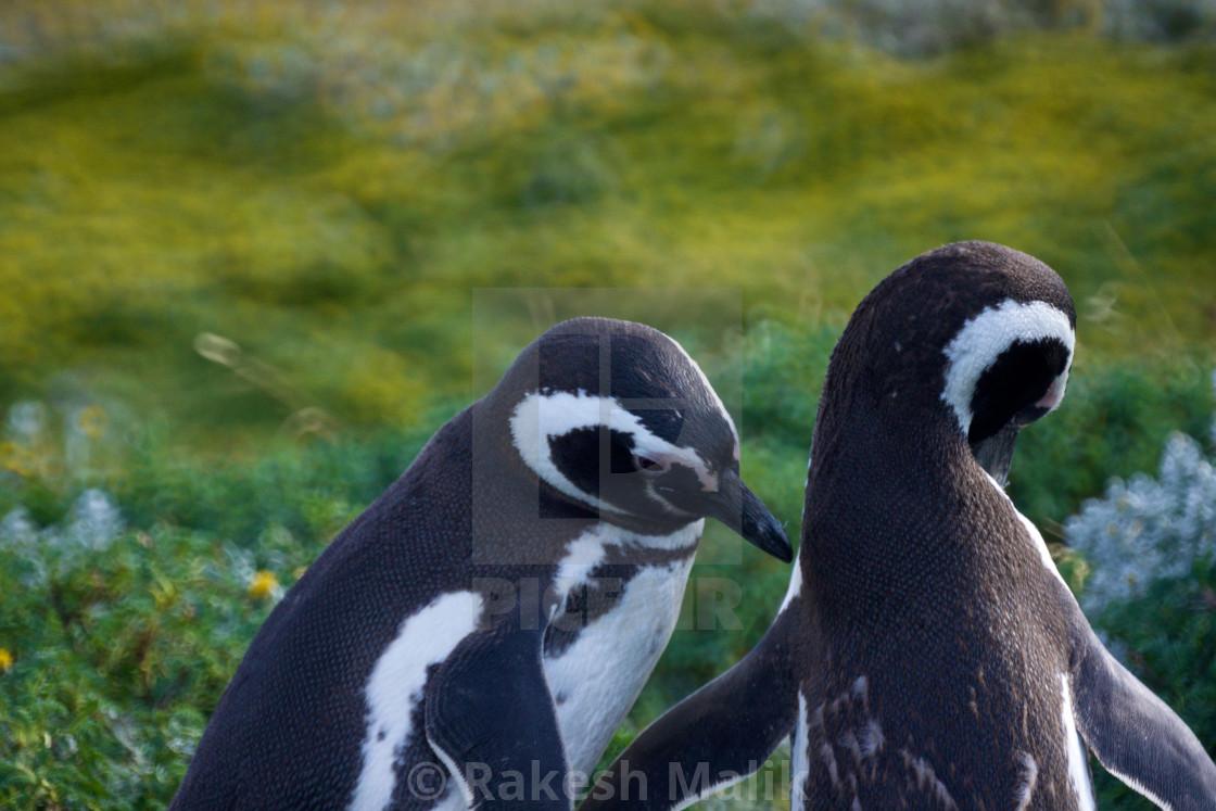 """Penguins Preening"" stock image"