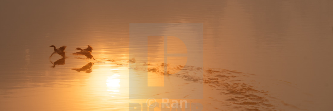 """Grebes running on water in sunrise"" stock image"