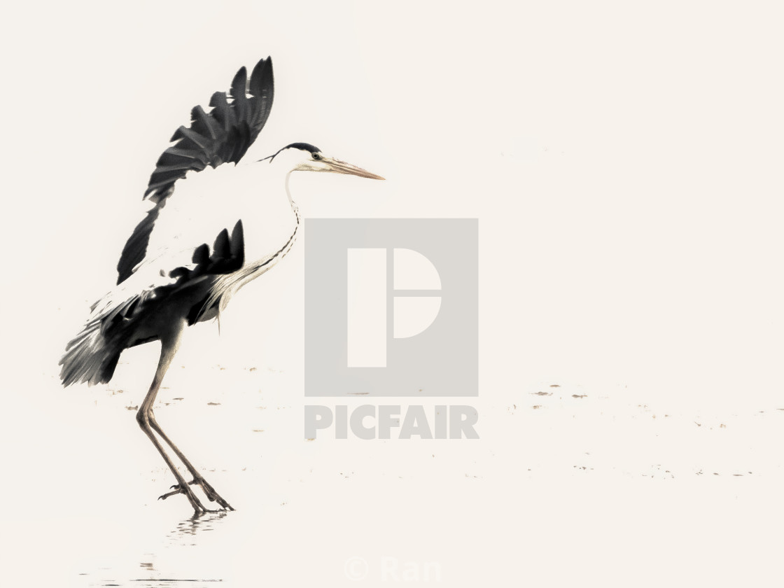"""Dancing Heron"" stock image"