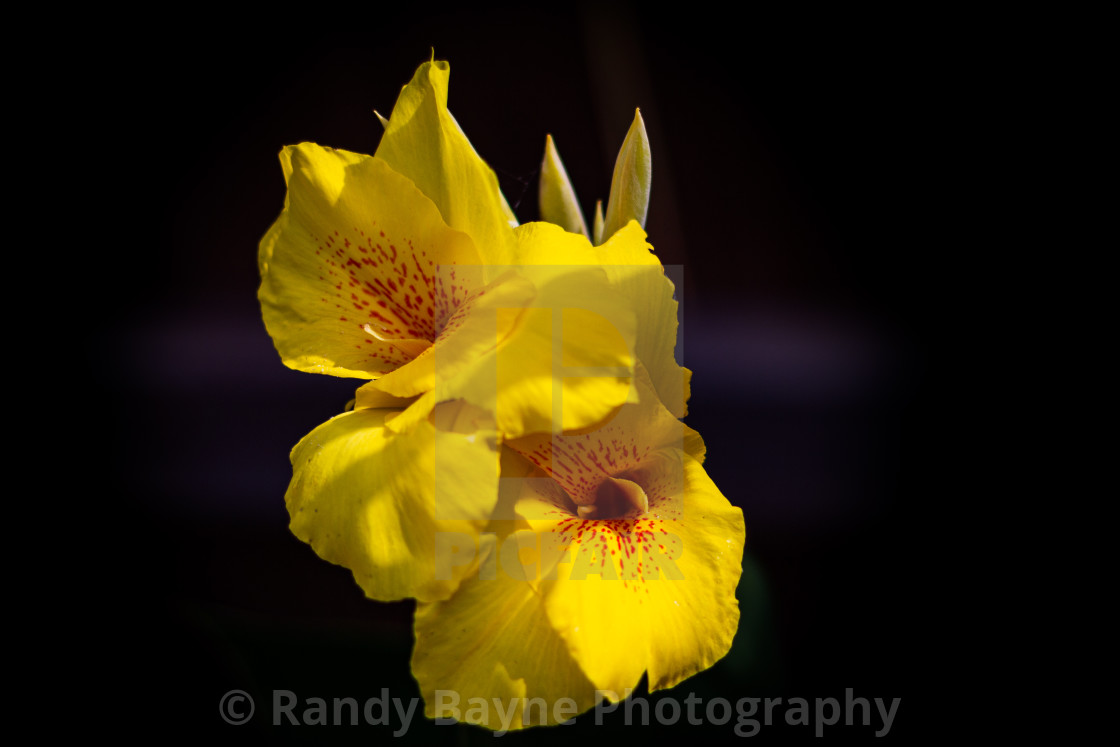 """""""Yellow Canna Lily"""" stock image"""