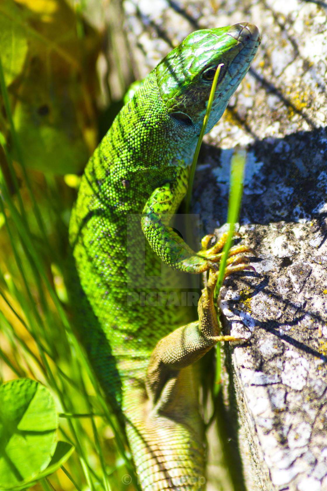 """A green lizard"" stock image"