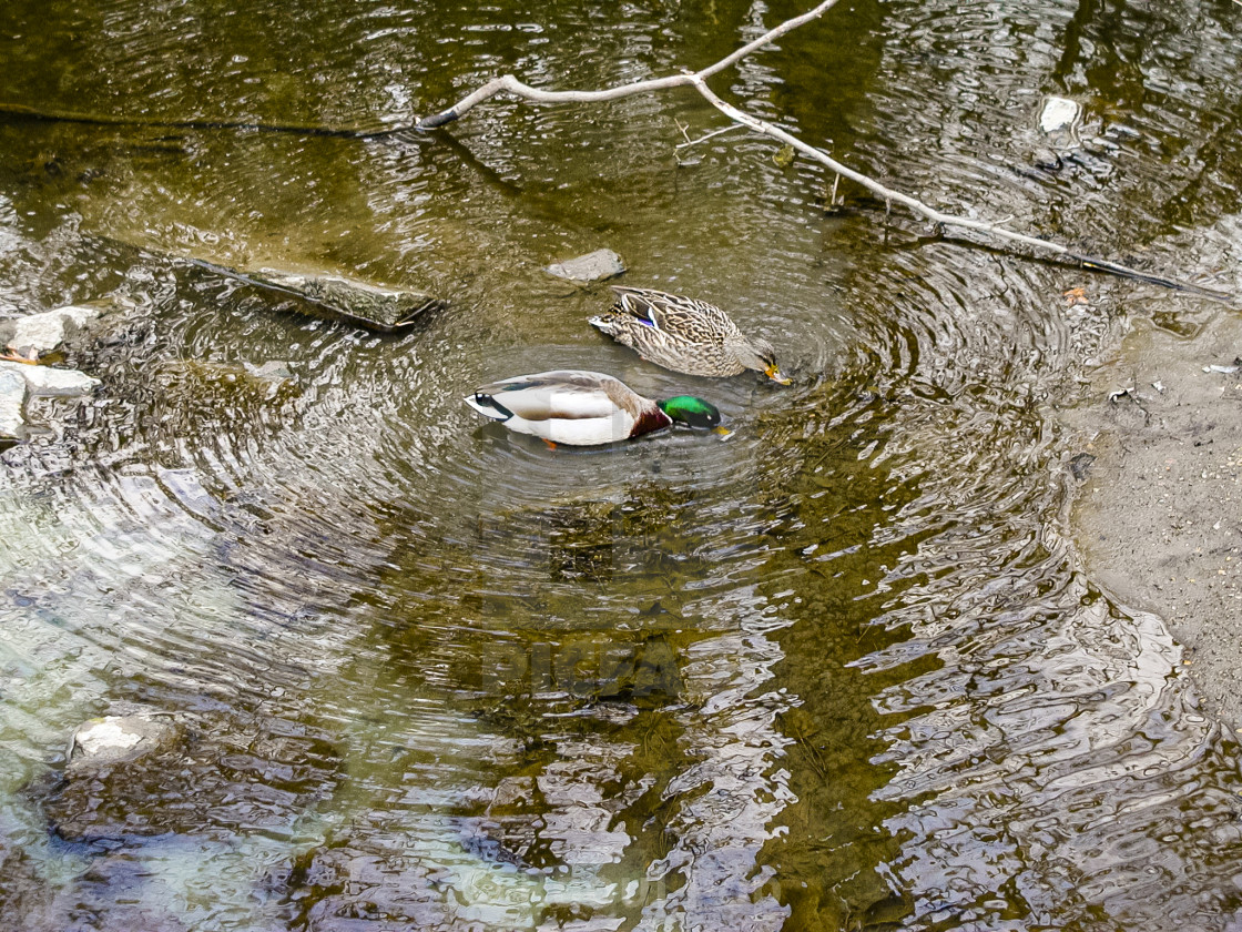"""""""Ducks in a pond"""" stock image"""