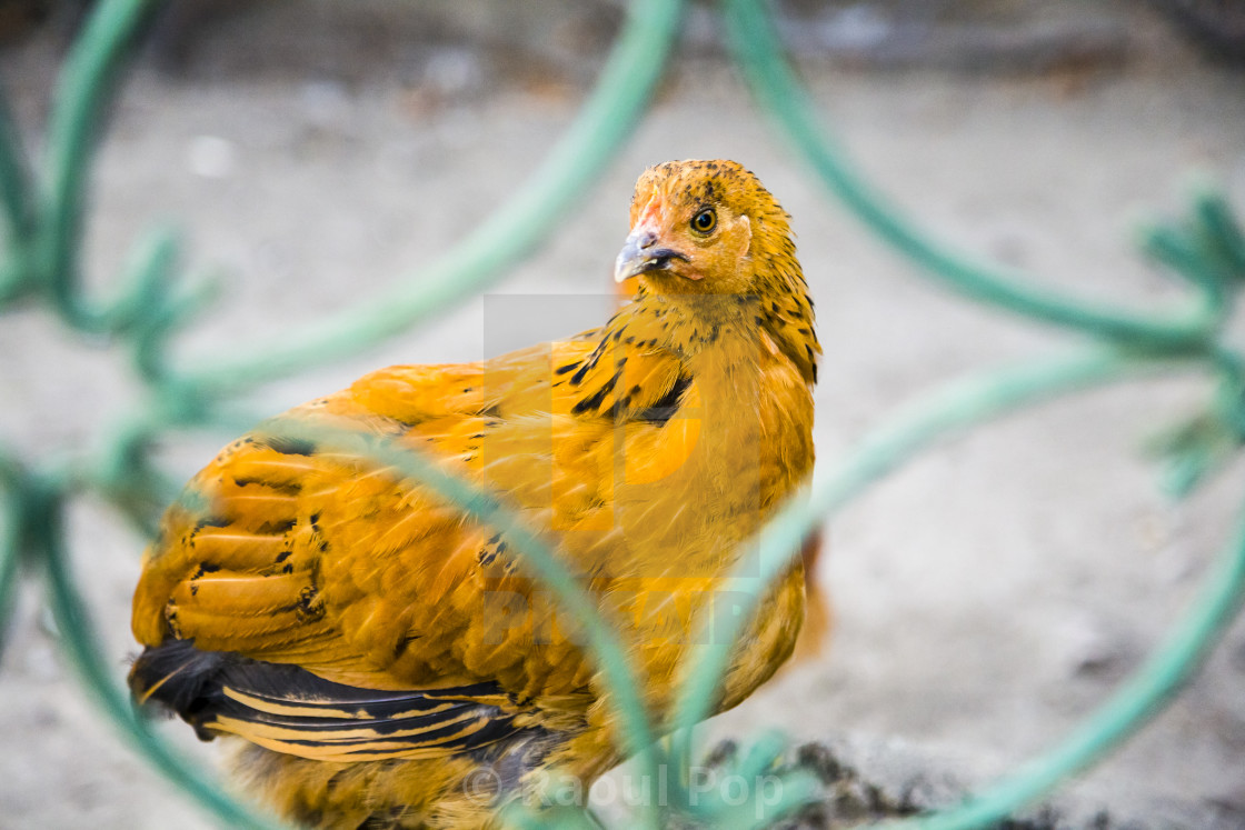 """Inquisitive hen"" stock image"