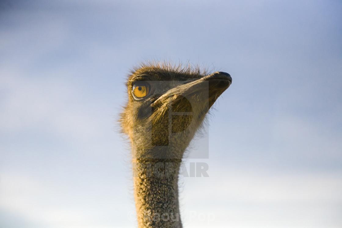 """An ostrich"" stock image"