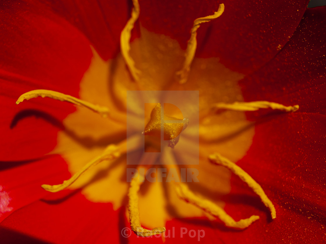 """""""The stamen and anthers of a red tulip"""" stock image"""