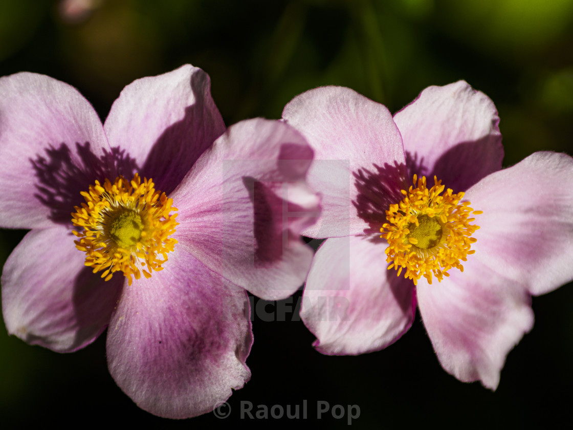 """""""Two anemone"""" stock image"""