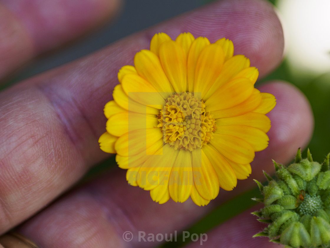 """""""A tiny yellow flower"""" stock image"""