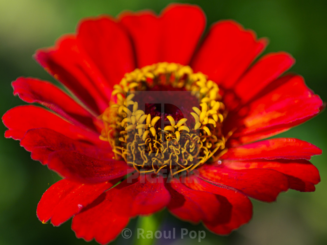 """""""A red blossom"""" stock image"""