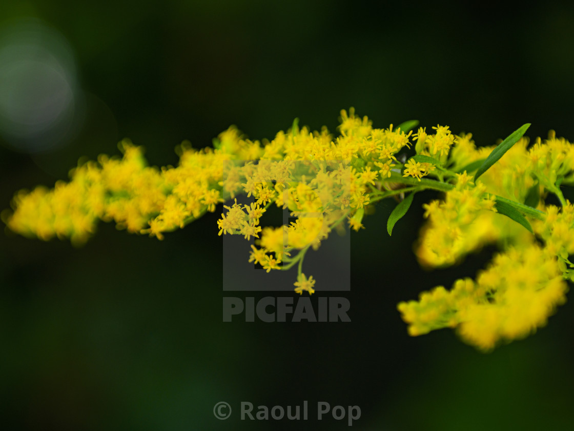 """""""Lady's bedstraw"""" stock image"""