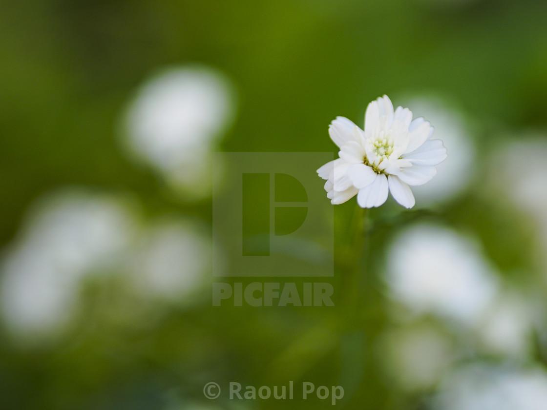 """A tiny white flower"" stock image"
