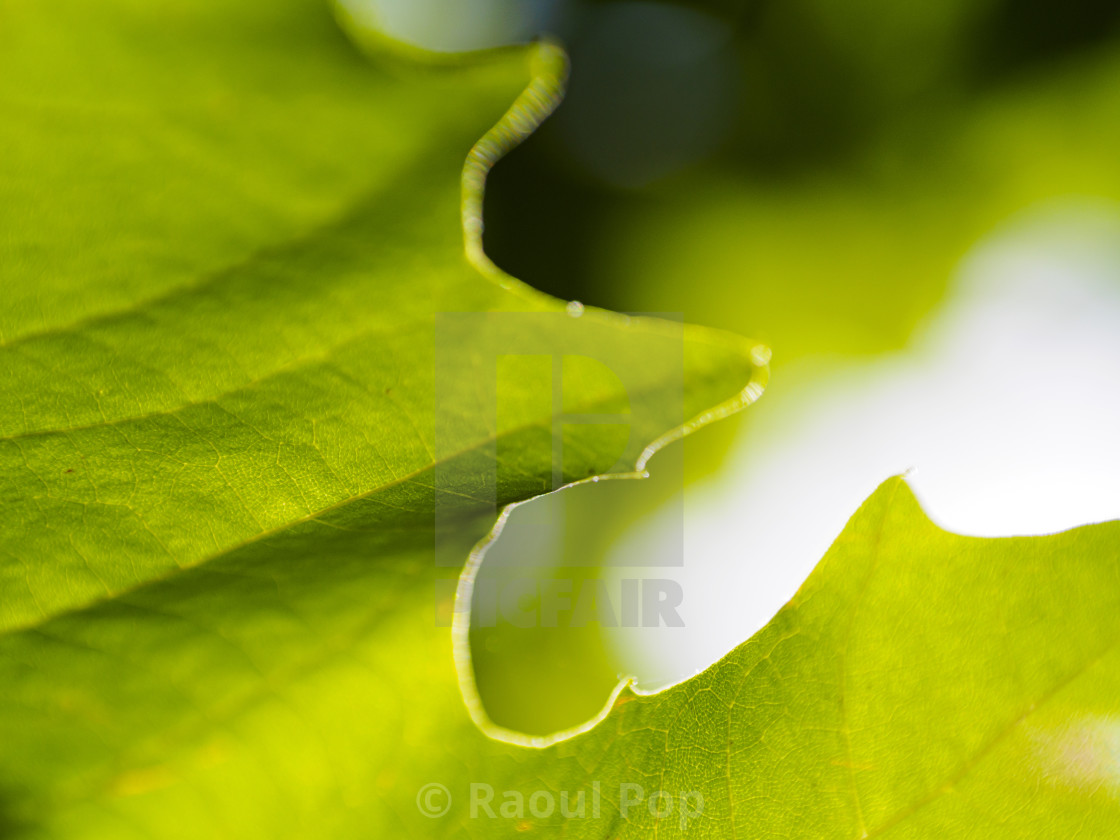 """""""A sycamore leaf"""" stock image"""