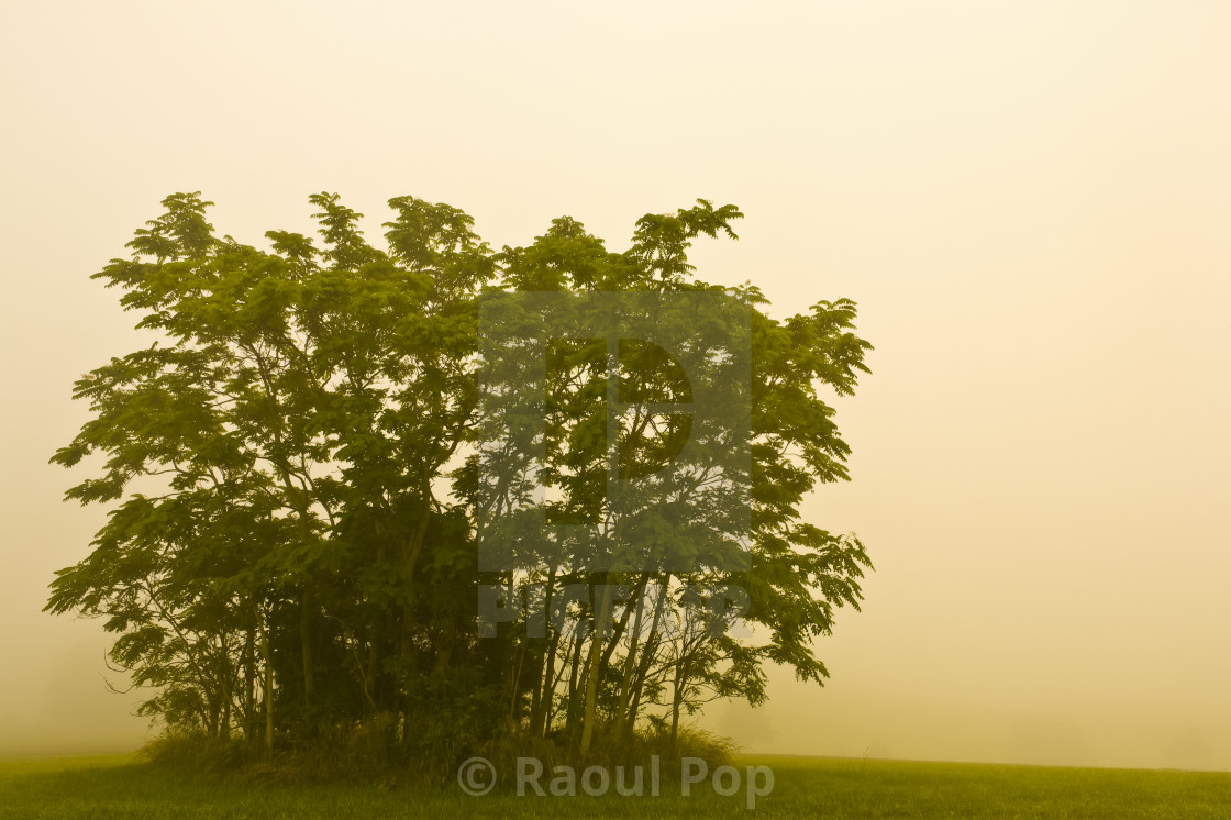 """""""A grove in the morning mist"""" stock image"""