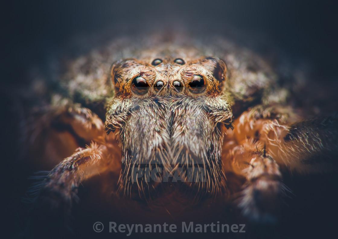 """Closeup of a Huntsman Spider"" stock image"