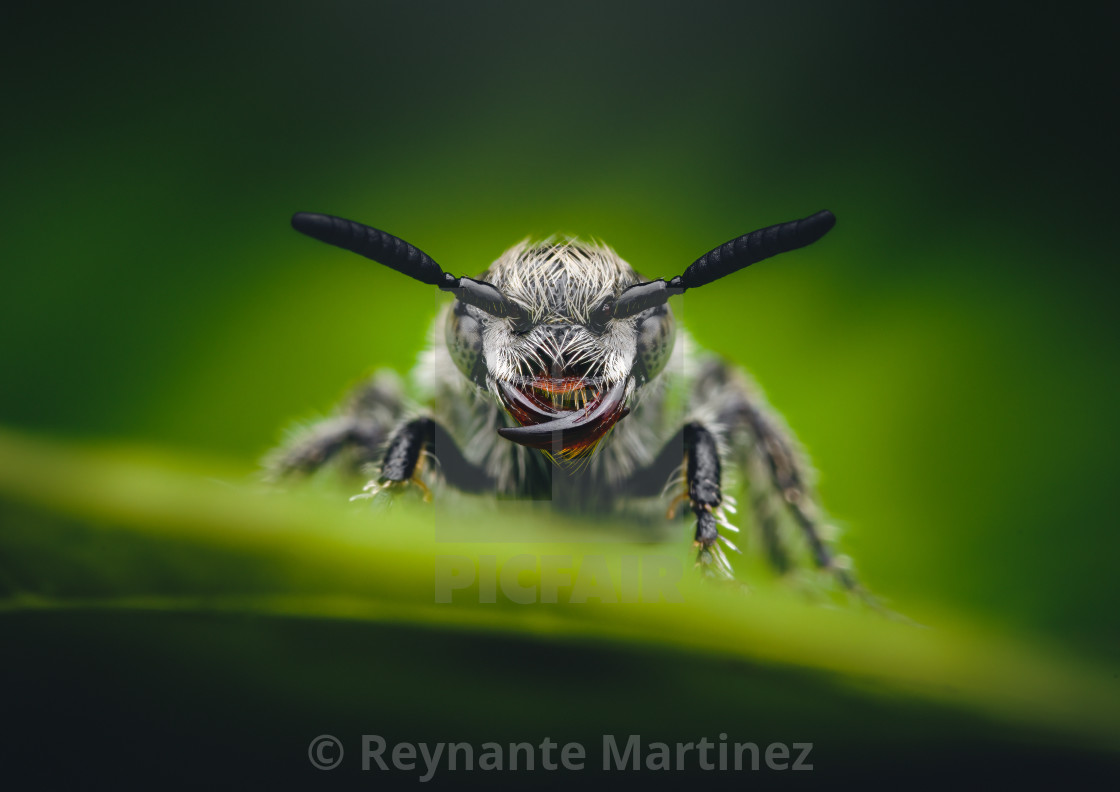 """""""Closeup of a Scoliid Wasp"""" stock image"""