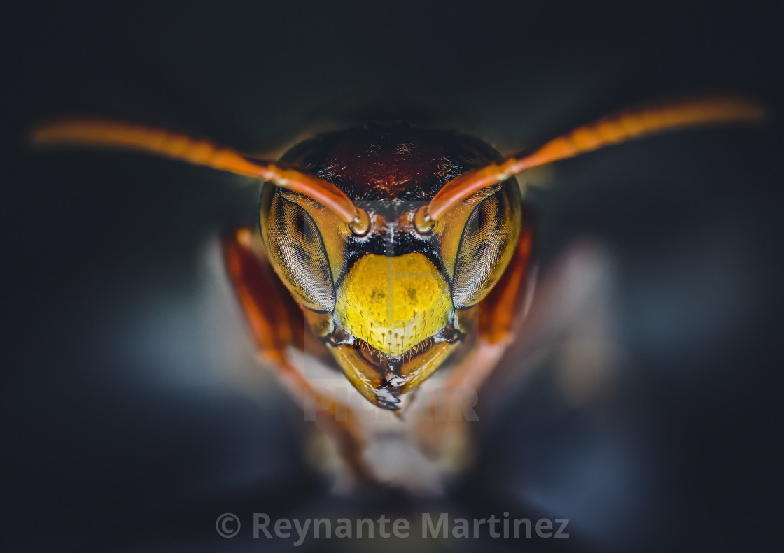 """""""Closeup of a Paper Wasp"""" stock image"""