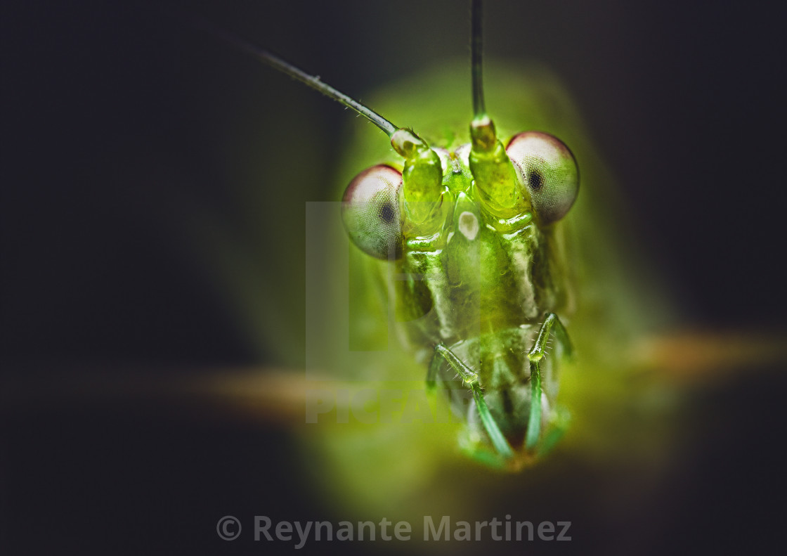 """Closeup of a Katydid"" stock image"