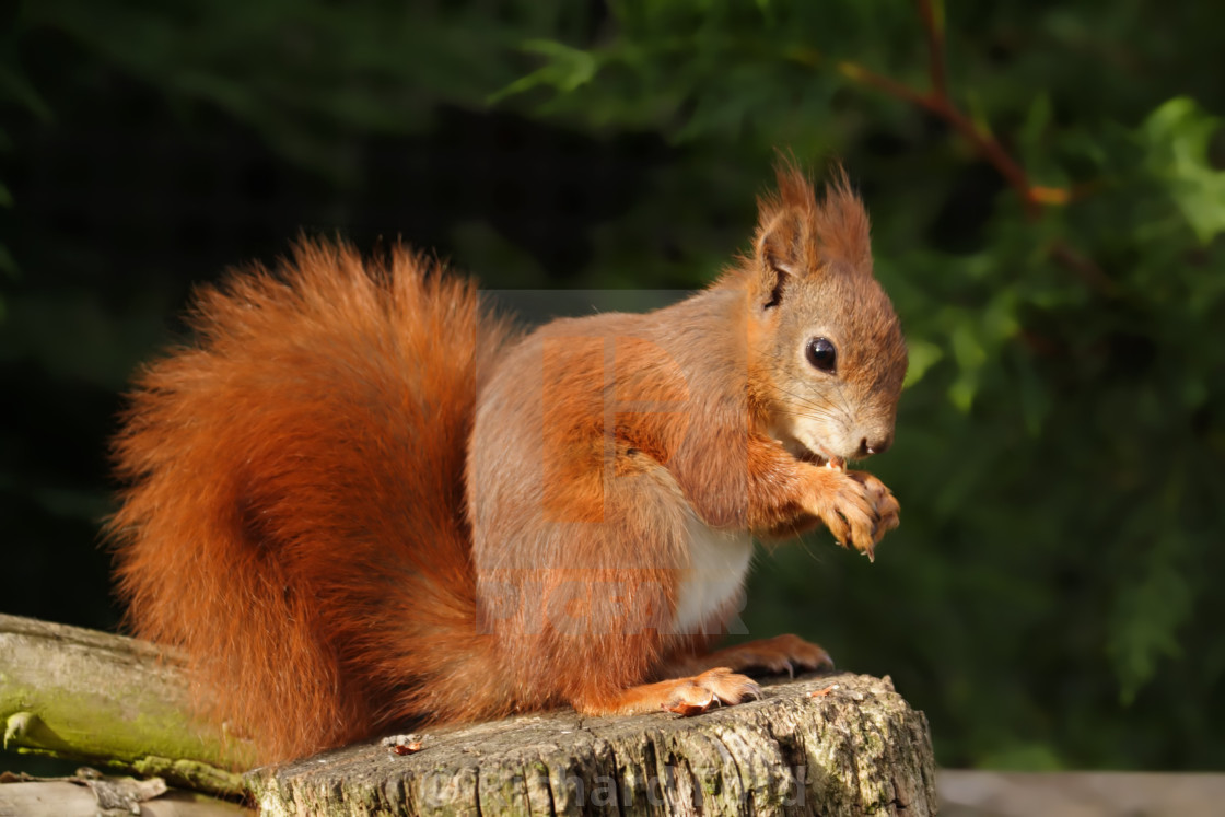"""Eurasian red squirrel, Sciurus vulgaris"" stock image"