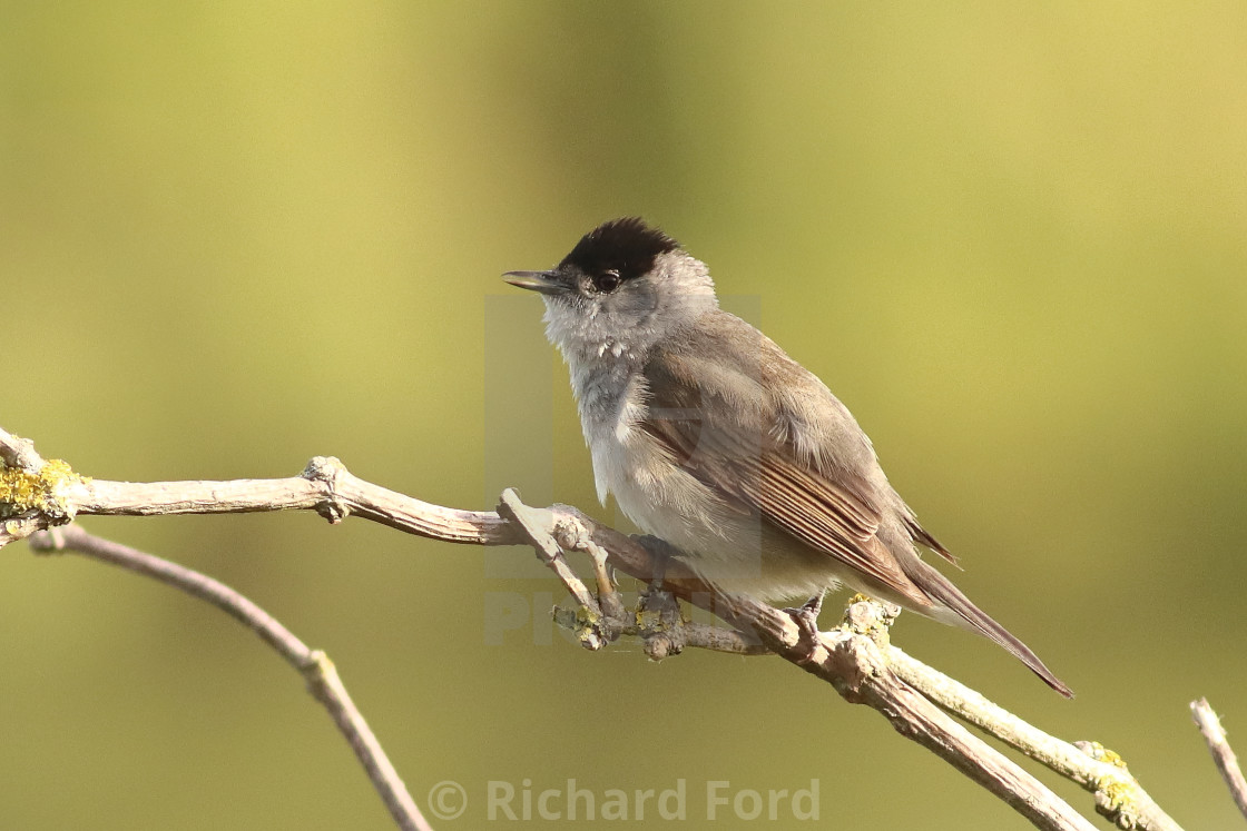 """""""Male Blackcap. Warbler on song perch in springtime"""" stock image"""