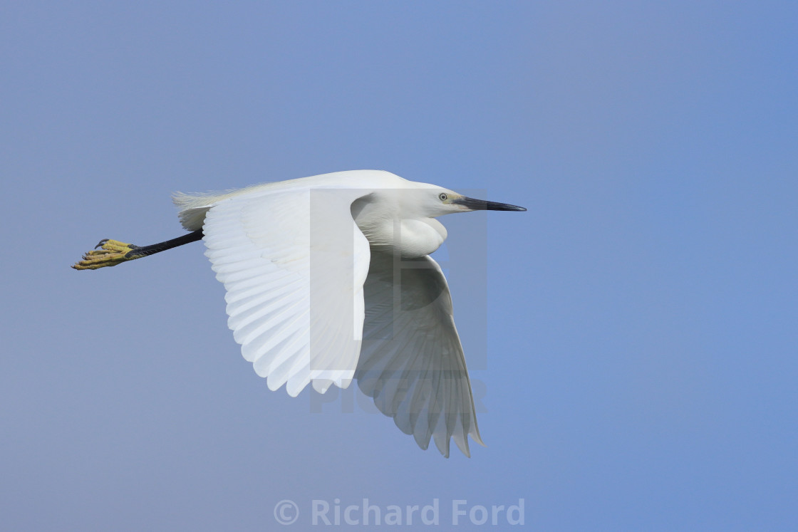 """Adult Little Egret in flight"" stock image"