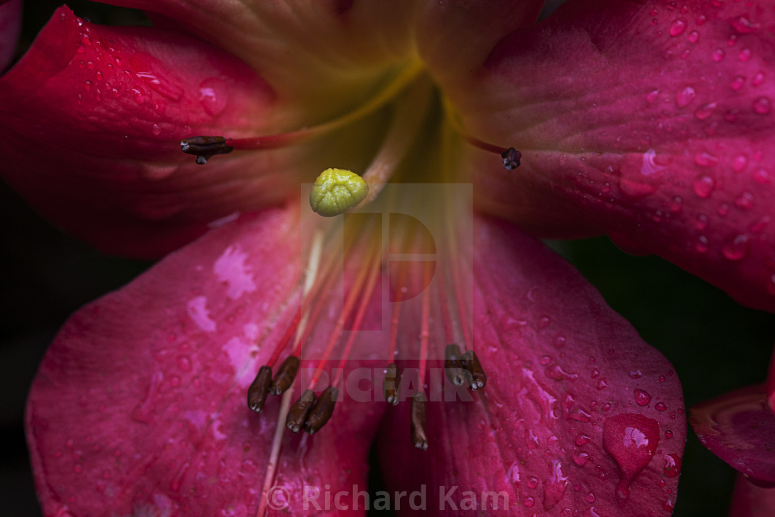 """""""Red Rhododendron"""" stock image"""