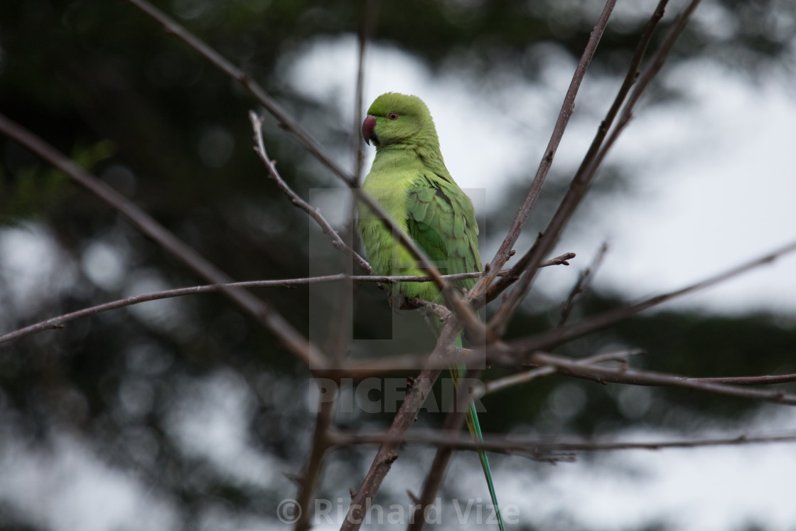 """A parakeet in London"" stock image"