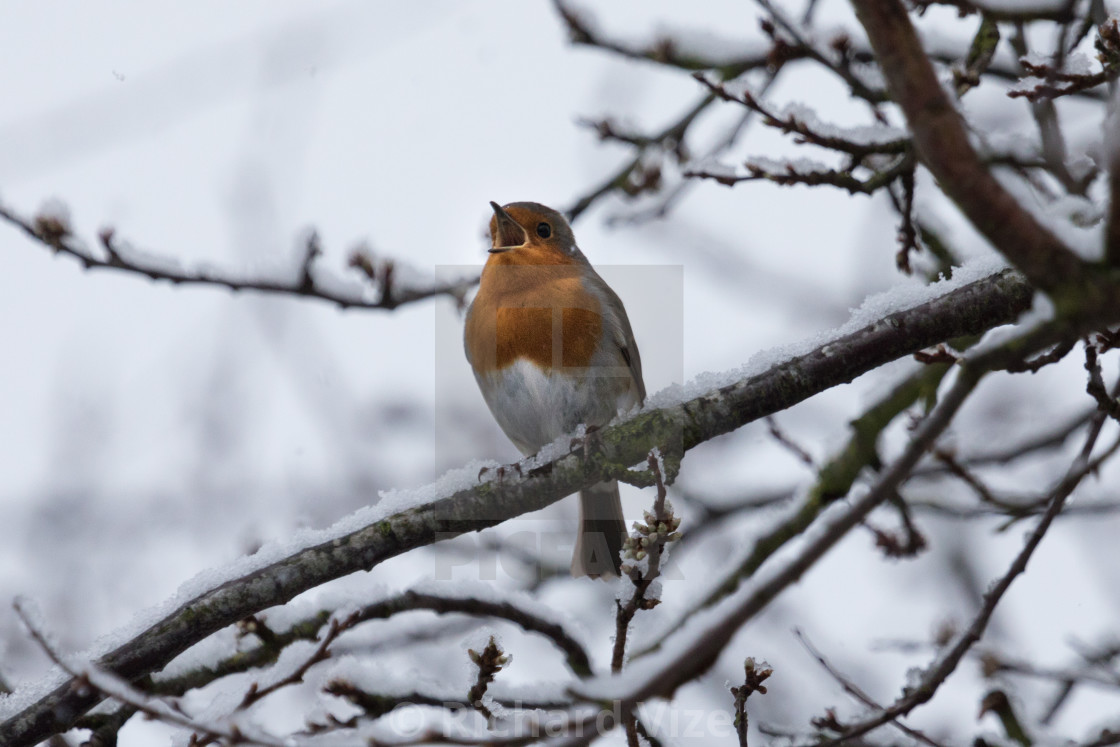 """""""Robin singing in a cherry tree"""" stock image"""