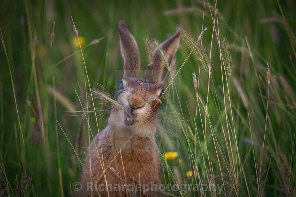 """Crazy Hare"" stock image"