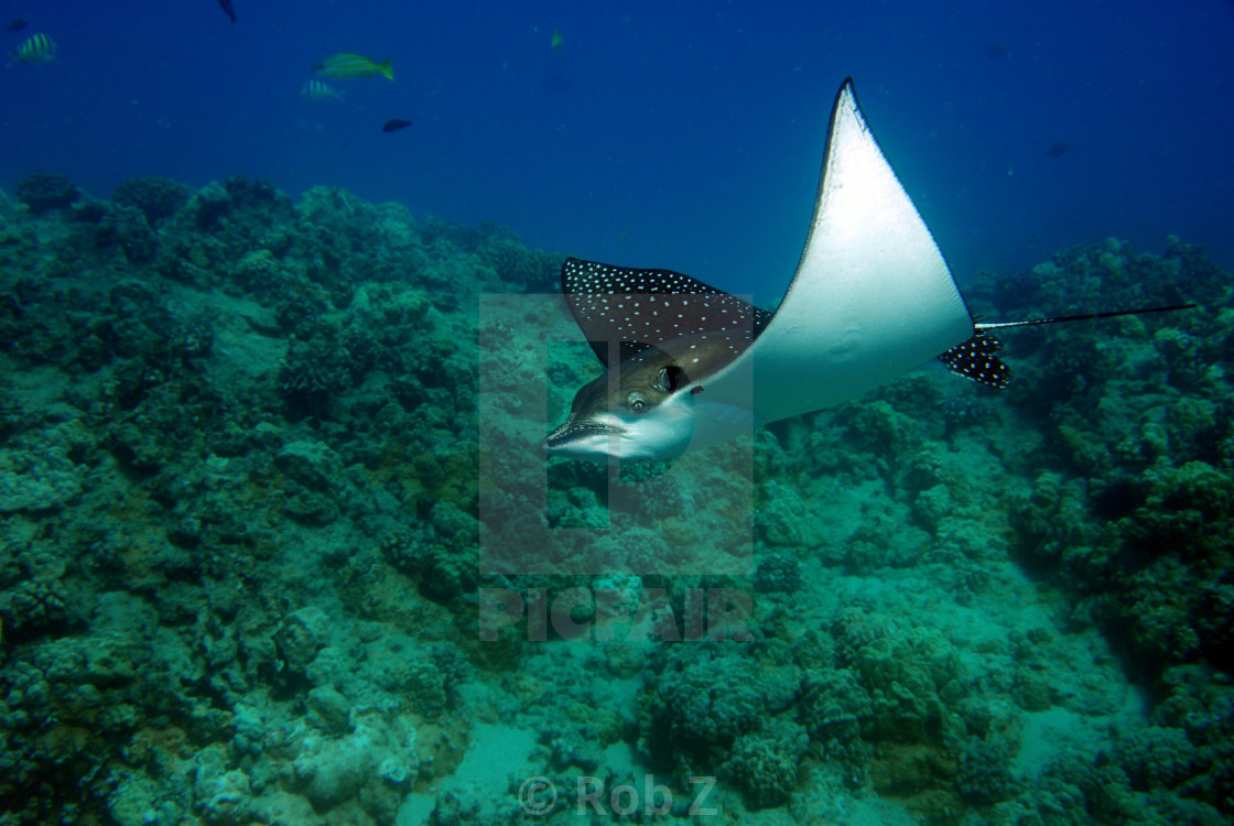 """""""Speckled Ray"""" stock image"""