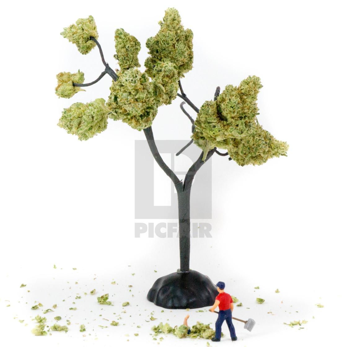 """Cleaning up the marijuana tree"" stock image"