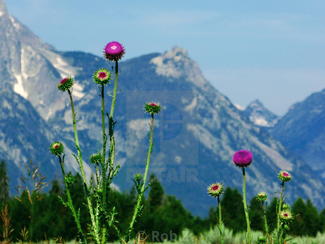 """Wildflowers in front of the Tetons"" stock image"