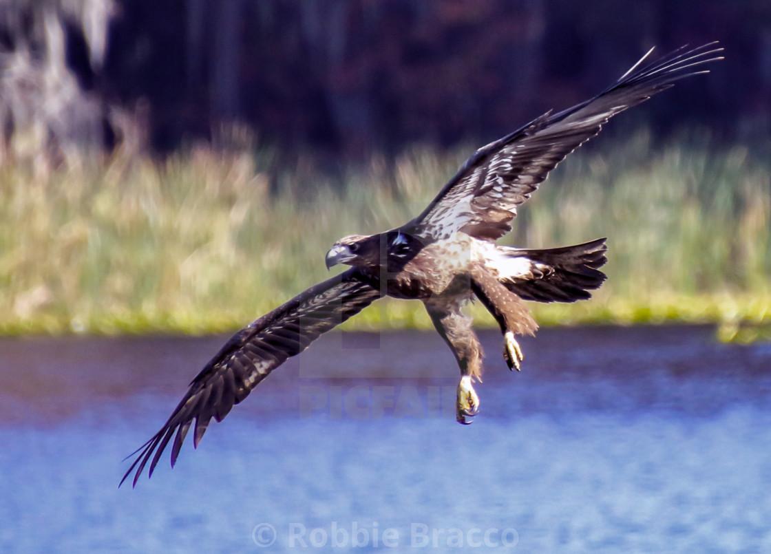 Golden Eagle Gliding