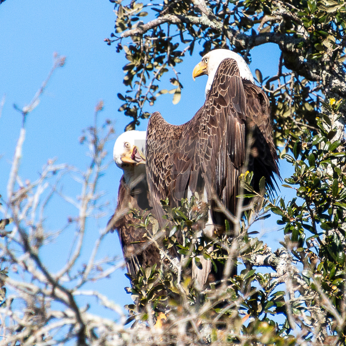 """Monogamist Eagle Couple"" stock image"