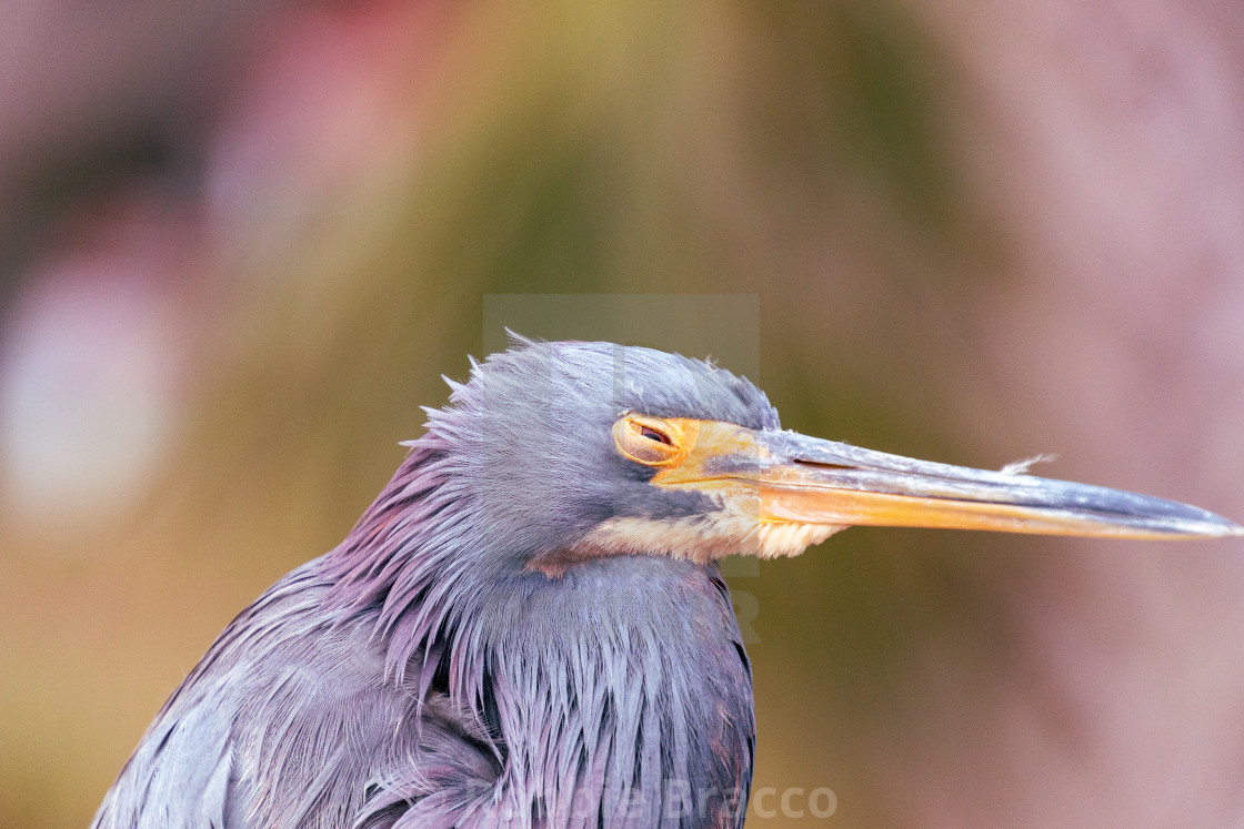 """""""The Frightened Young Blue Heron Needed Rest,"""" stock image"""