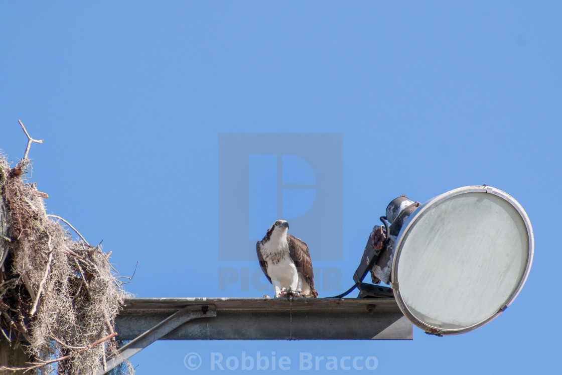 """""""OSPREY EATING A FISH FROM WATER BELOW"""" stock image"""