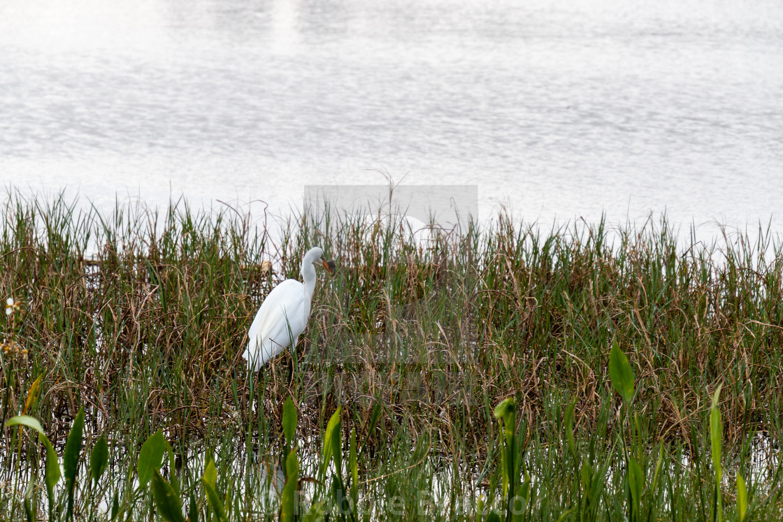 """""""A GREAT EGRET FISHING IN SHALLOW WATER"""" stock image"""