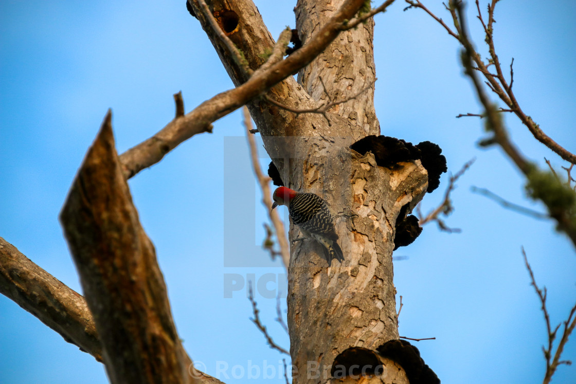 """""""RED-HEADED WOODPECKER CLINGING TO TREE"""" stock image"""