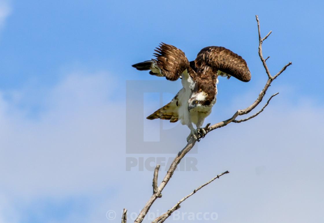 """OSPREY BIRD STRETCHING ITS WINDS"" stock image"