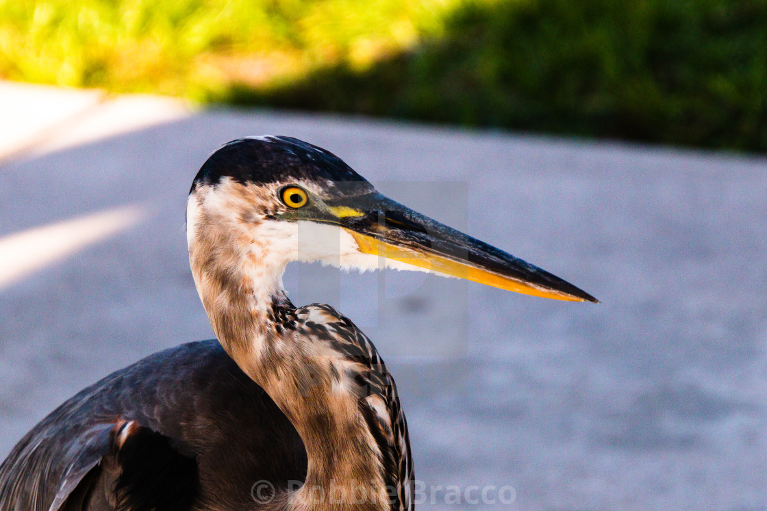 """""""RESTING IN THE SHADE OF A PALM TREE,STANDS THE BLUE HERON"""" stock image"""