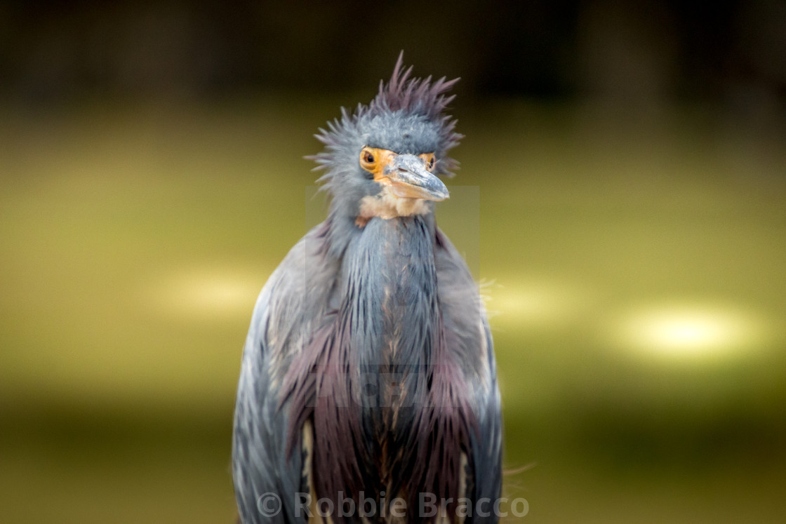 """""""Great Blue Heron On A Cold Day"""" stock image"""