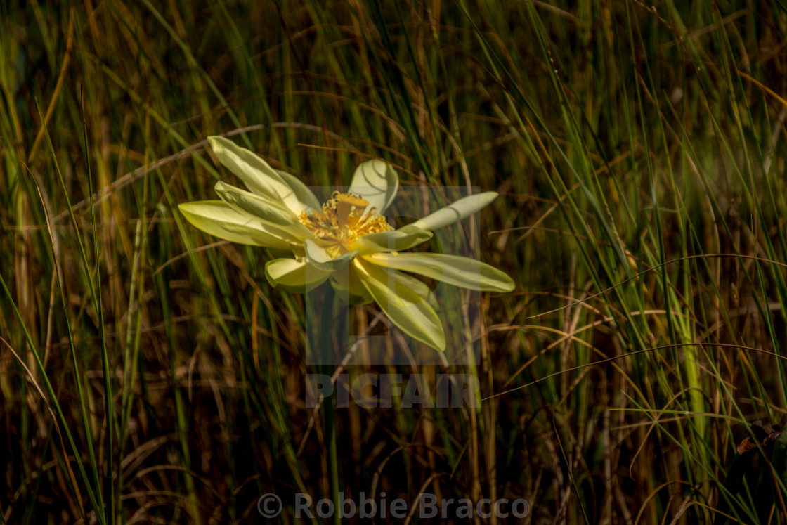 """""""A Bright Yellow Water Lilly Engulfed By Tall Fall Grass Along The Edge Of Shallow Water"""" stock image"""