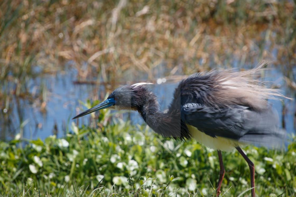 """Blue Heron At Mating Season Leesburg Florida"" stock image"