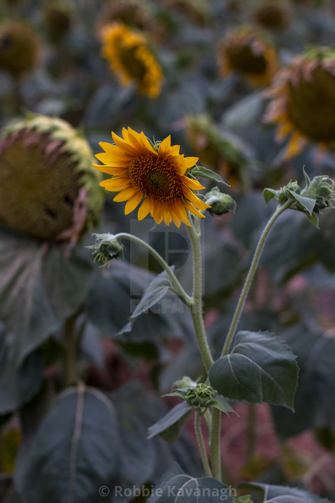 """""""Sunflower in a field in the evening light"""" stock image"""