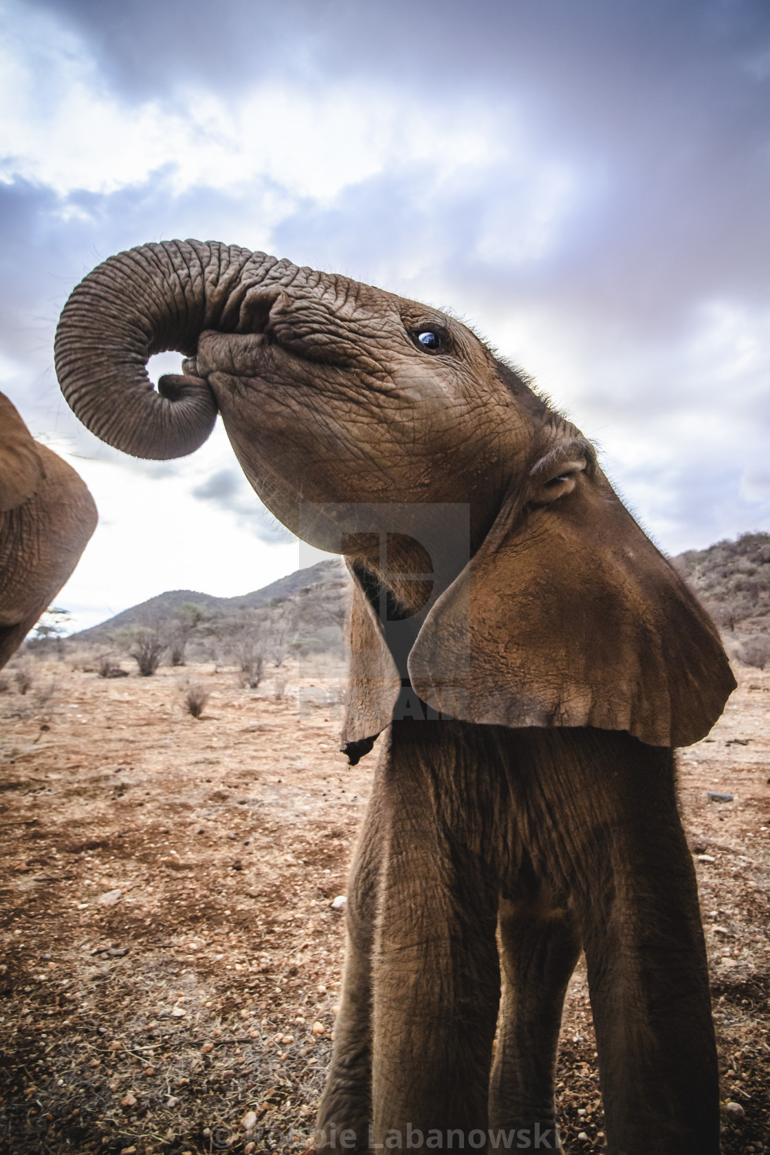 """A curious elephant calf holds his head high."" stock image"