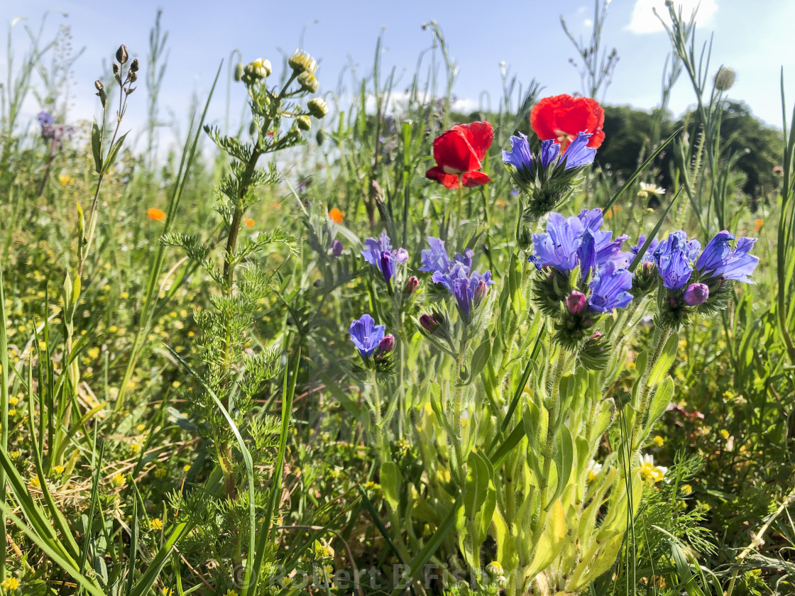 """""""poppy flowering on an insect friendly meadow"""" stock image"""