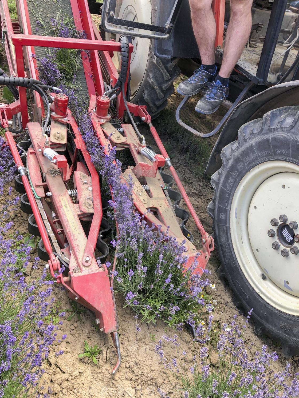 """Lavender Harvest"" stock image"