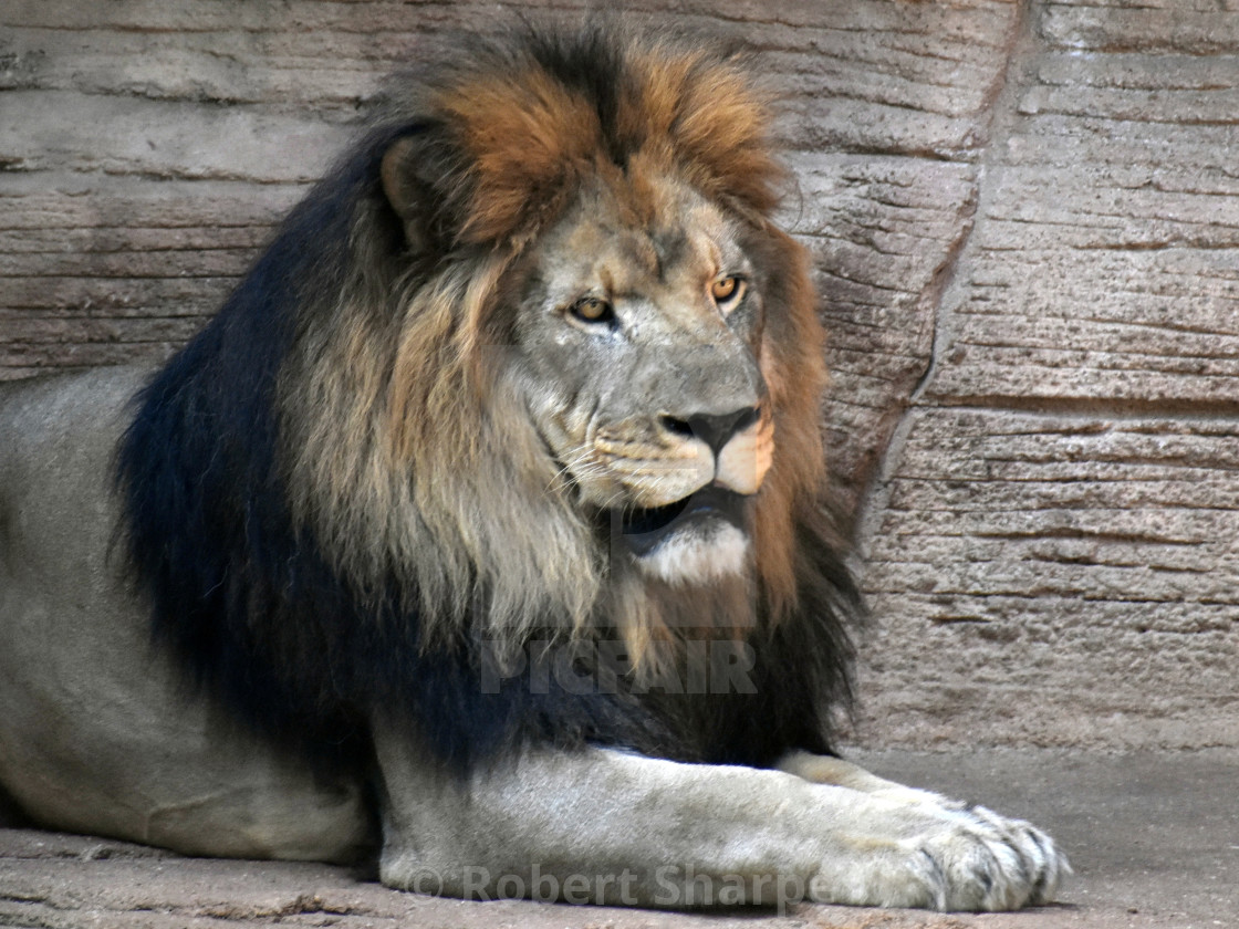 """""""Lion At Rest"""" stock image"""